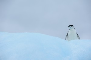 Chinstrap penguin on blue iceberg
